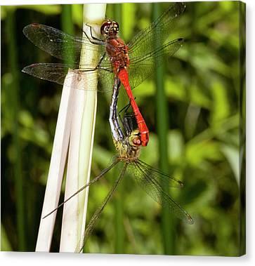 Ruddy Darter Dragonflies Mating Canvas Print by Bob Gibbons