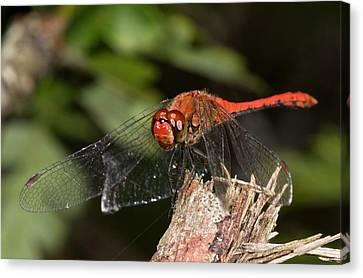 Ruddy Darter Dragonfly Canvas Print