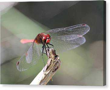 Canvas Print featuring the photograph Ruddy Darter Dragonfly - Sympetrum Sanguineum by Jivko Nakev