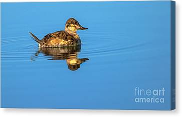 Ruddy Duck Canvas Print by Robert Bales