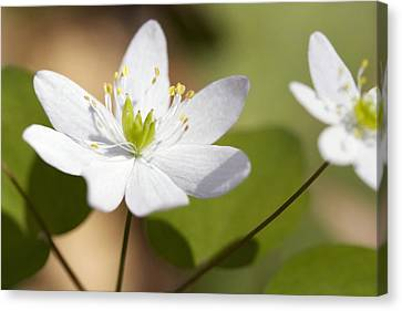 Rue Anemone Canvas Print by Melinda Fawver