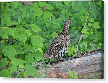 Ruffed Grouse Canvas Print by James Petersen
