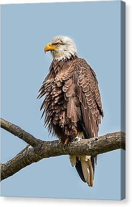 Ruffled Feathers Bald Eagle Canvas Print