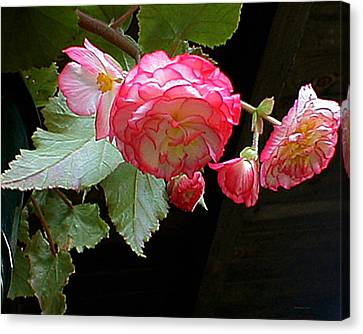Ruffled Pink Begonia's Canvas Print