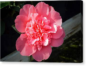 Ruffles In Pink. Canvas Print by Terence Davis