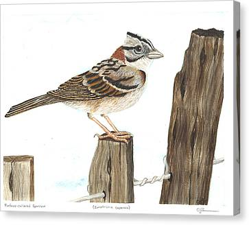 Rufous-collared Sparrow Canvas Print