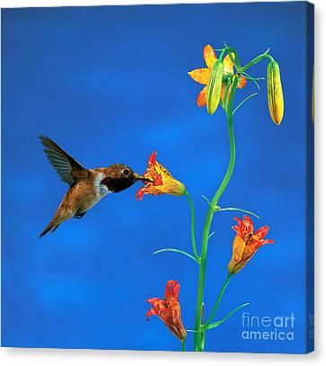 Rufous Hummingbird Canvas Print by Anthony Mercieca