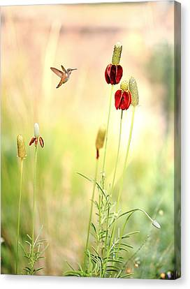 Rufous Hummingbird Mexican Hat Corn Flower Canvas Print