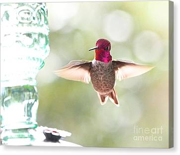 Rufous Hummingbird Canvas Print