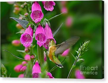 Rufous Hummingbird Canvas Print by Thomas and Pat Leeson