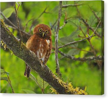 Rufous Morph Costa Rican Pygmy-owl Canvas Print by Tony Beck