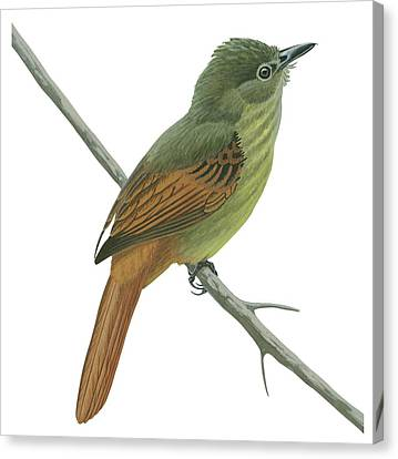 Rufous Tailed Flatbill  Canvas Print by Anonymous