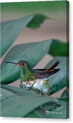 Rufous-tailed Hummingbird On Nest Canvas Print by Gregory G Dimijian MD