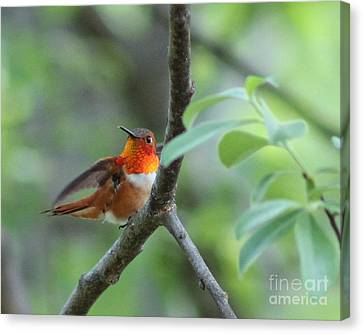 Rufus Hummingbird Canvas Print by Leone Lund