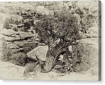 Rugged Tree Canvas Print