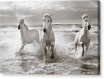 Wild Horses Canvas Print - Run White Horses II by Tim Booth