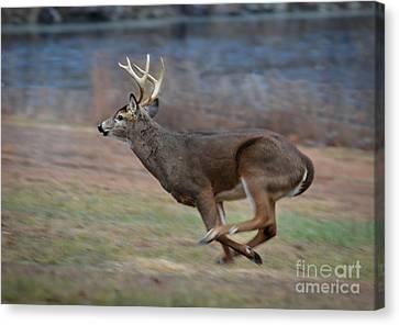 Running Buck Canvas Print