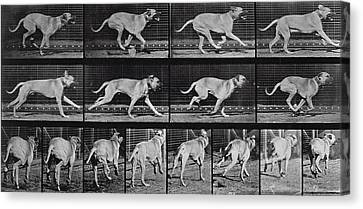 Running Dog Canvas Print by Eadweard Muybridge