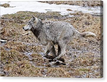 Canvas Print featuring the photograph Running Timber Wolf by Wolves Only