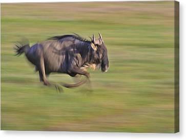 Running Wildebeest IIi Canvas Print