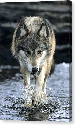 Canvas Print featuring the photograph Running Wolf by Chris Scroggins