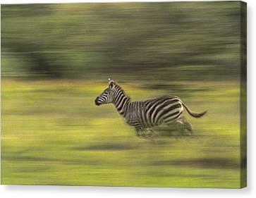 Running Zebra Canvas Print