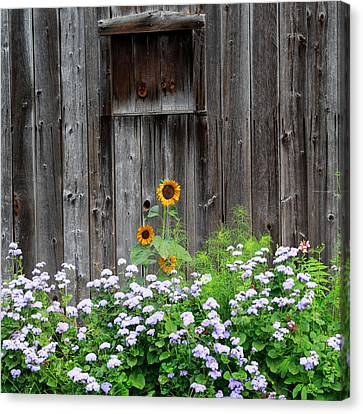 Rustic Barnwood Sunflower Canvas Print by Bill Wakeley