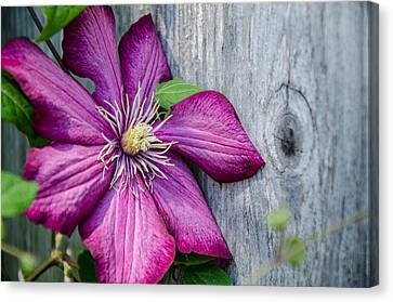Canvas Print featuring the photograph Rustic Clematis by Susan  McMenamin