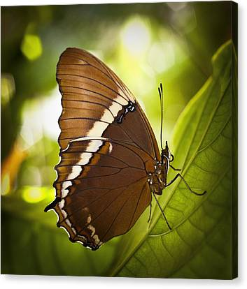 Canvas Print featuring the photograph Rusty Tip Butterfly by Bradley R Youngberg