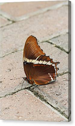 Rusty Tipped Page Butterfly Canvas Print by Judy Whitton