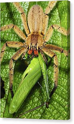 Rusty Wandering Spider Eating A Katydid Canvas Print by James Christensen
