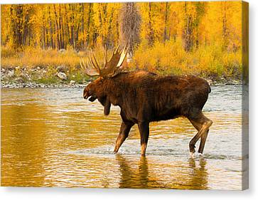 Canvas Print featuring the photograph Rutting Bull by Aaron Whittemore