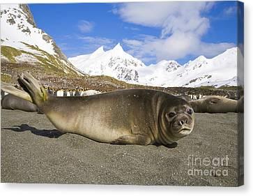 Elephant Seals Canvas Print - Southern Elephant Seal Pup by Yva Momatiuk John Eastcott