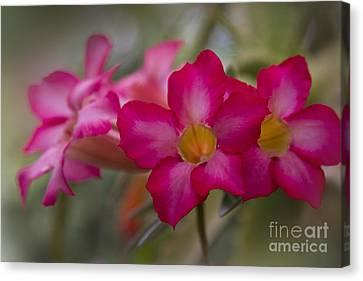 Sabi Star - Desert Rose Garden Of Dreams Hawaii Canvas Print by Sharon Mau