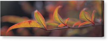 Sacred Bamboo- Autumn Leaves Nandina Canvas Print