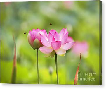 Sacred Lotus Canvas Print by Bill  Robinson