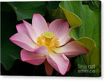 Sacred Lotus Canvas Print by Byron Varvarigos