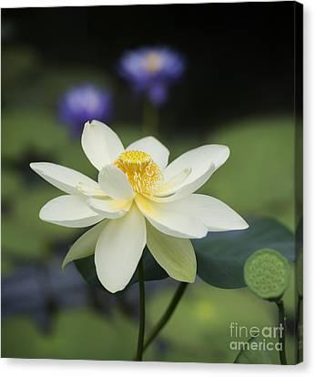 Lotus Leaves Canvas Print - Sacred Lotus  by Tim Gainey