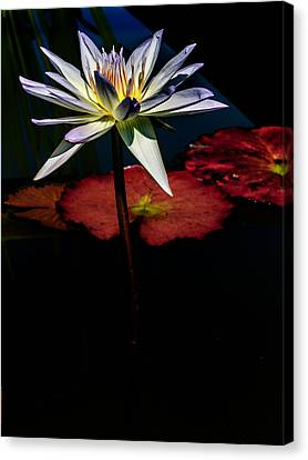 Sacred Water Lilies Canvas Print by Louis Dallara