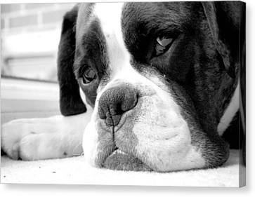 Mike Taylor Canvas Print - Sad Boxer Dog by Mike Taylor