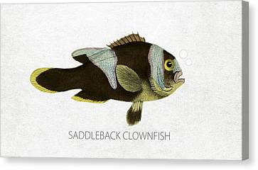Angling Canvas Print - Saddleback Clownfish by Aged Pixel