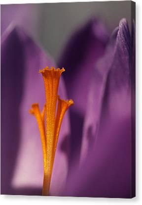 Saffron - Centre Stage Canvas Print by Connie Handscomb