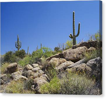 Brown Ranch Trail Canvas Print - Saguaro Cacti Arizona Desert by Marianne Campolongo