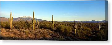 Saguaro Cacti In A Desert, Four Peaks Canvas Print