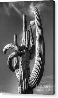Saguaro Cactus Monochrome Canvas Print