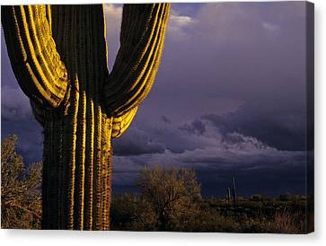 Saguaro Cactus Sunset At Dusk Arizona State Usa Canvas Print