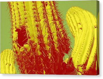 Saguaro Celebration I Canvas Print by Carolina Liechtenstein
