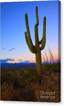 Saguaro Dusk Canvas Print by Mike  Dawson