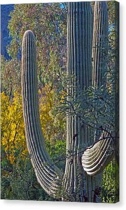 Saguaro Fall Color Canvas Print