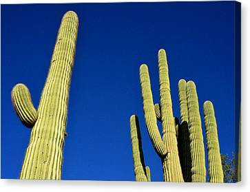 Saguaro National Forest Tucson Az Canvas Print by Diane Lent